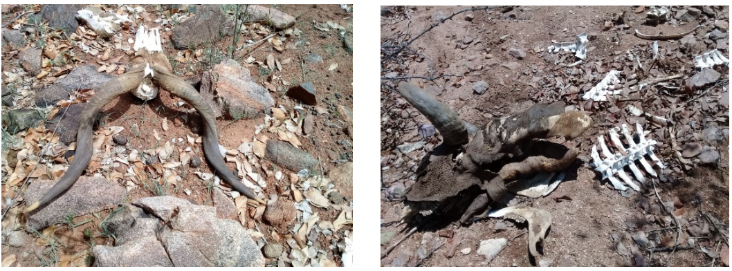 Figure 5. Drought effects  kudu and cow carcass.