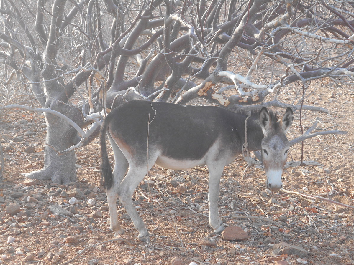 An endemic species (Commiphora multijuga) browsed by a donkey