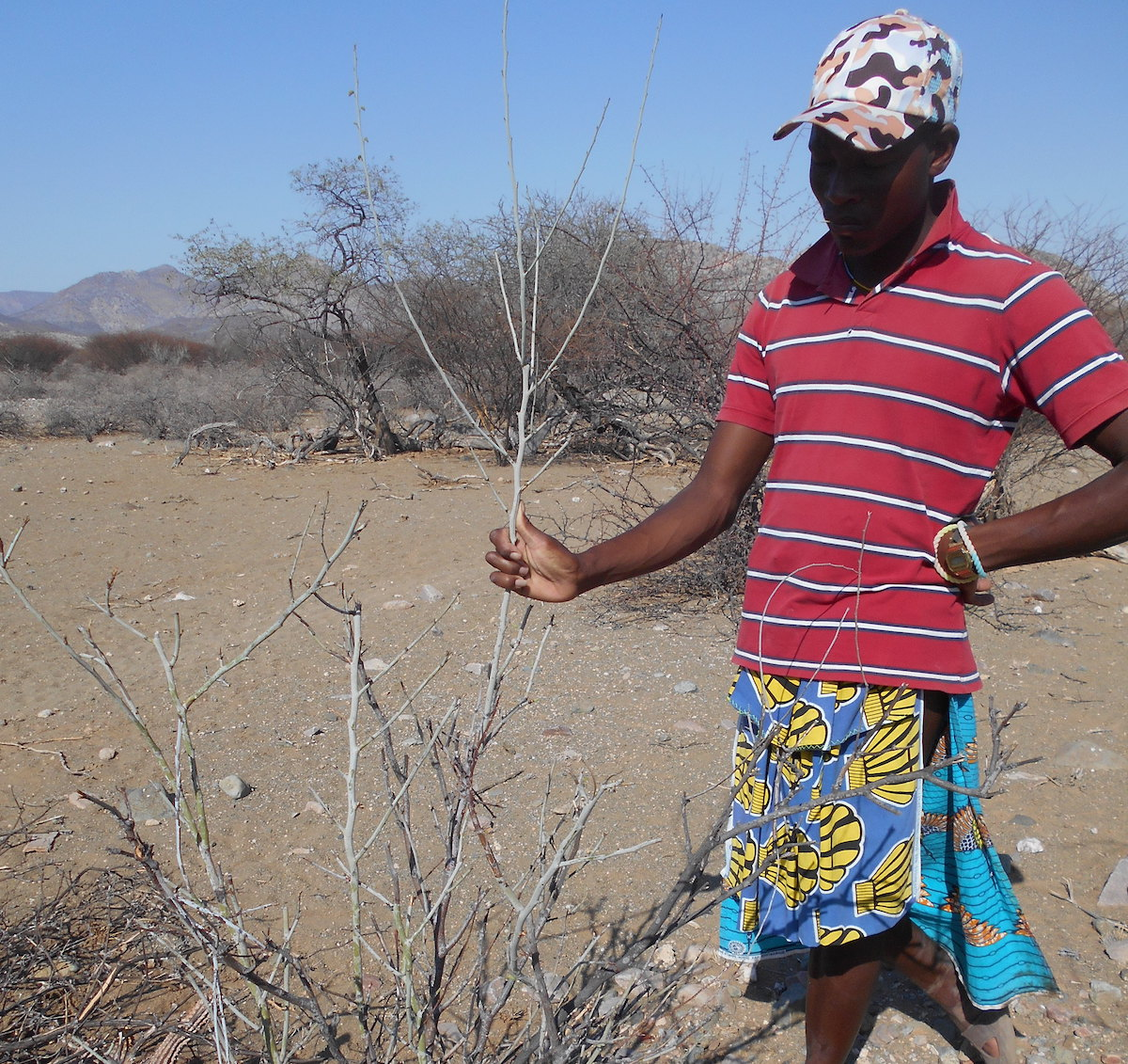 Para ecologist identifying plant (Adenolobus garipensis) and talking about it. The plant is named  Omukandakanda in Himba and Curoca language