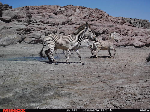Zebras caught on the one camera trap