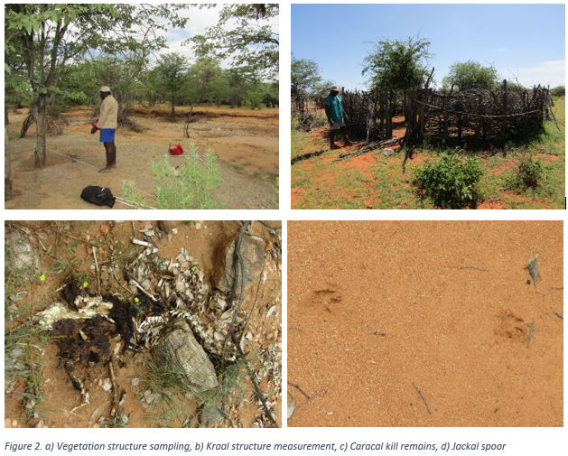 Figure 2. a) Vegetation structure sampling, b) Kraal structure measurement, c) Caracal kill remains, d) Jackal spoor