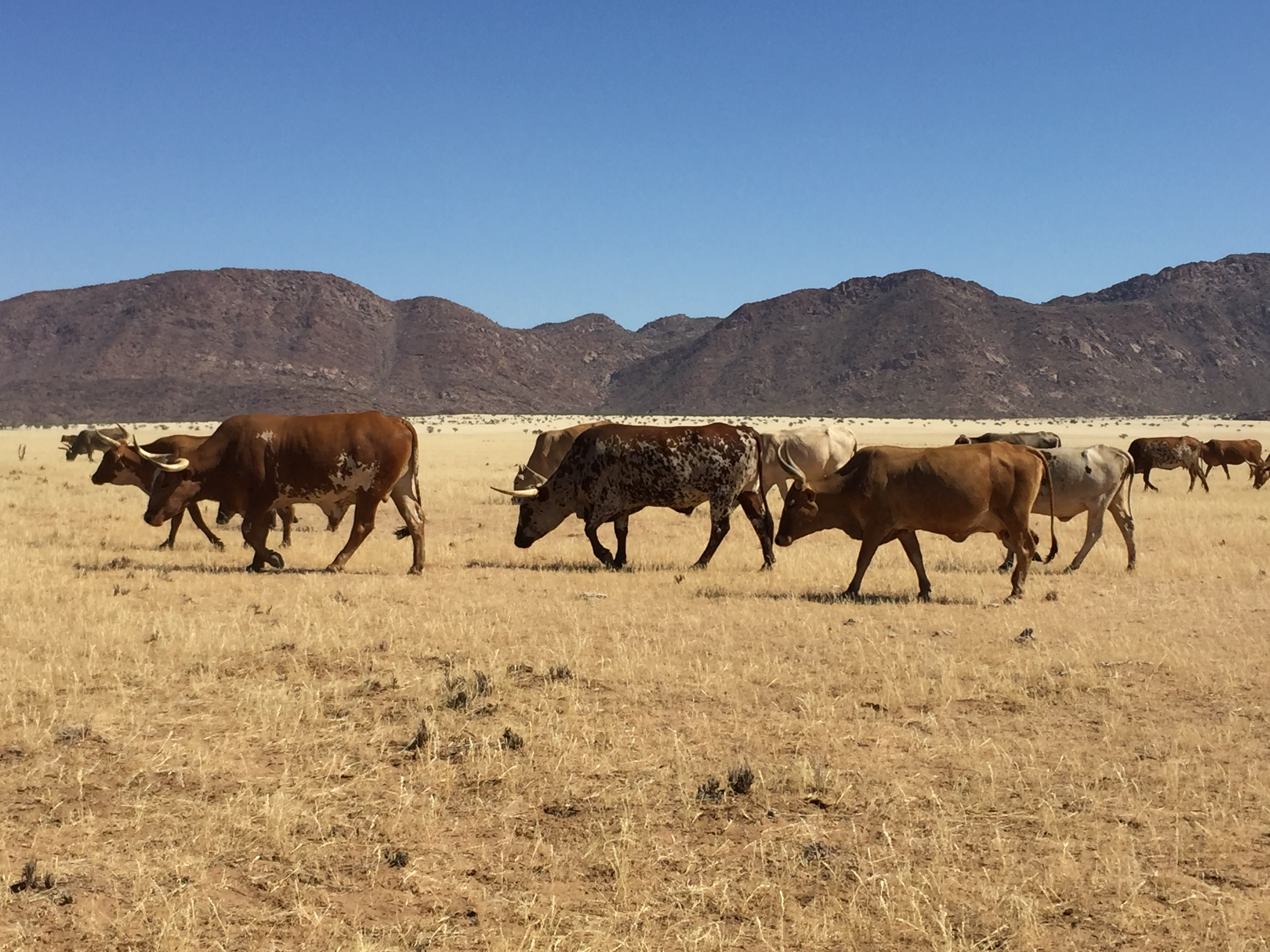 Cattle in Kunene, photo credit Marina Coetzee