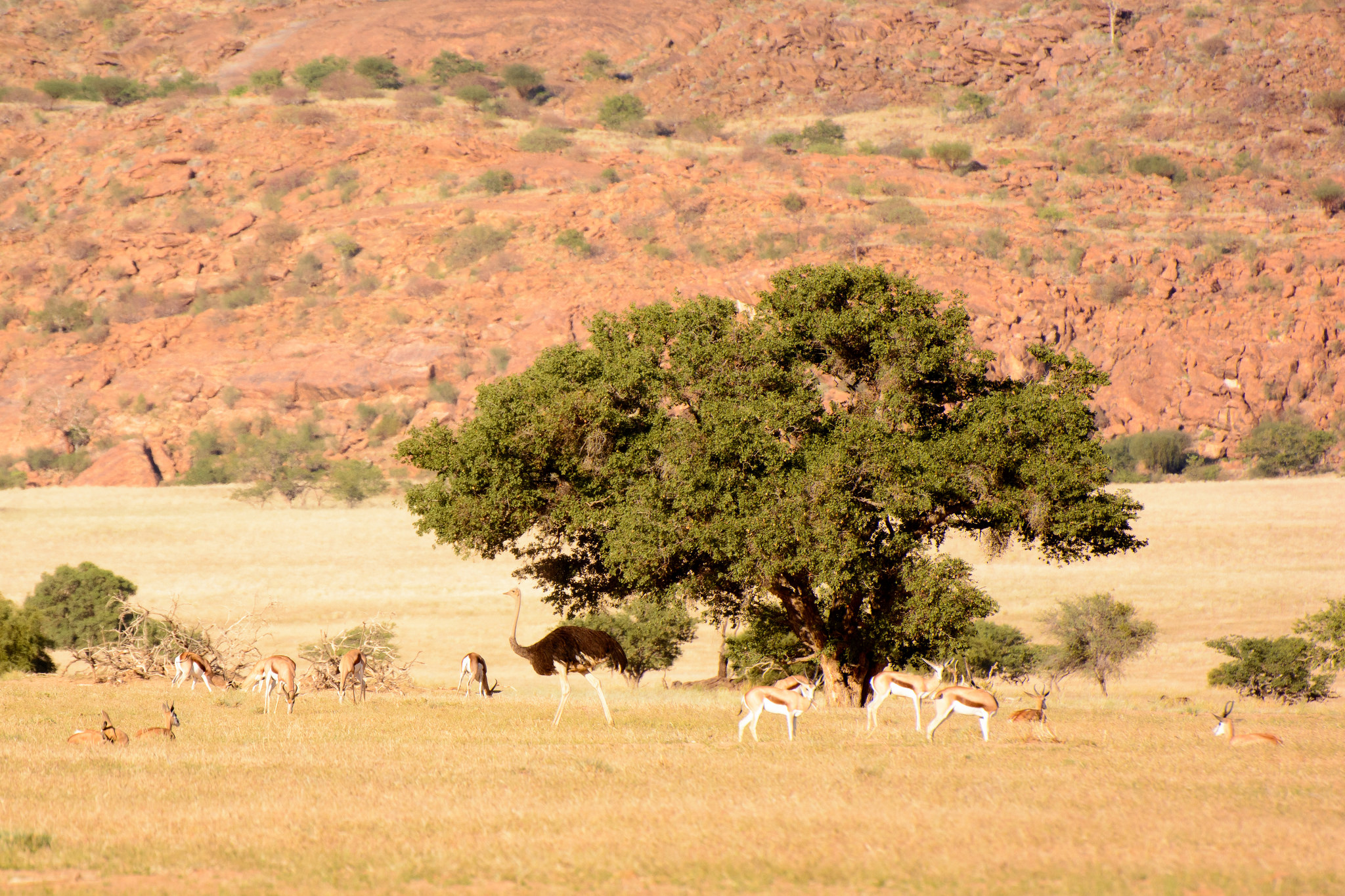 Springbok and Ostrich in Kunene, photo credit Alex Derr
