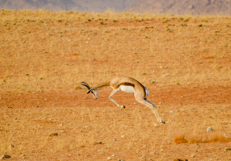 Photo Credit: Morgan Hauptfleisch  Caption: Springbok